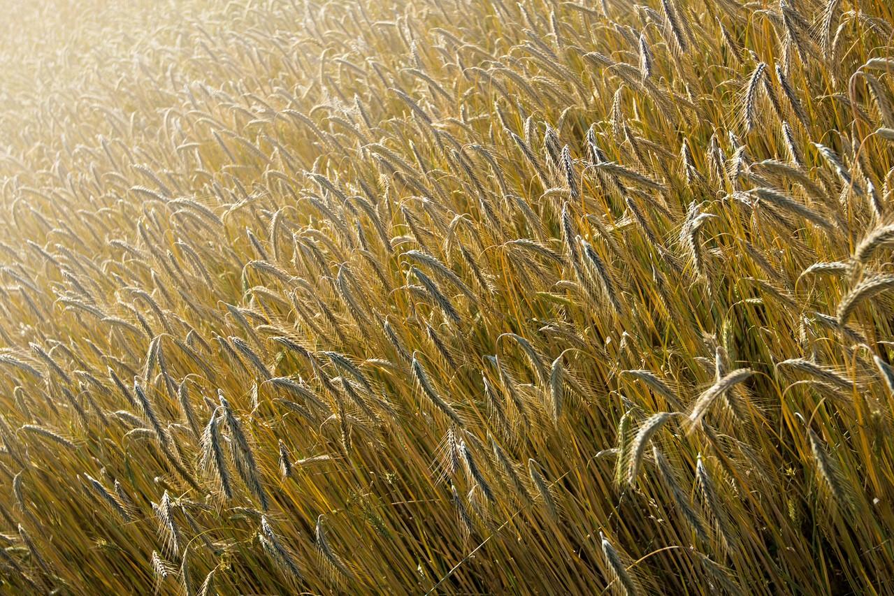 Jak przeprowadzić nawożenie pszenicy jarej